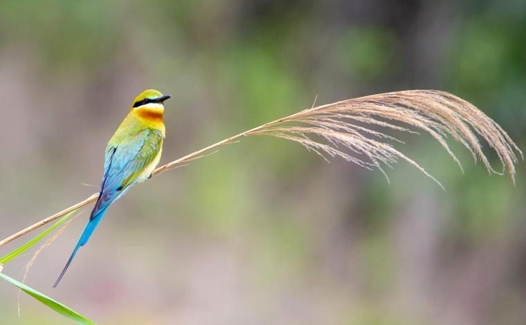 美麗的栗喉蜂虎在雲南施甸(dian)挖穴為巢(chao)